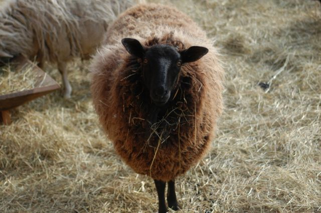 From sheep to yarn | Clean. www.lusaorganics.typepad.com