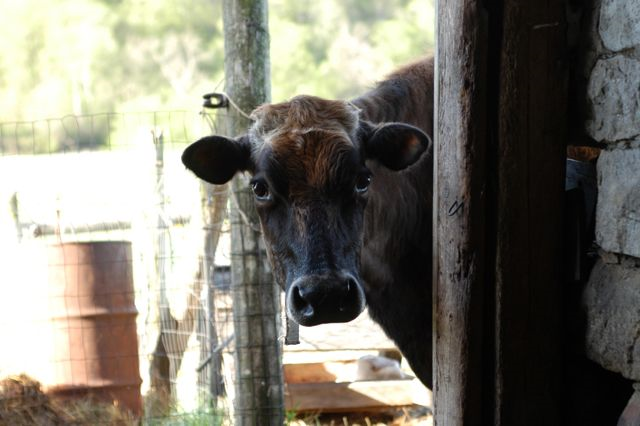 Family cow | Clean www.lusaorganics.typepad.com