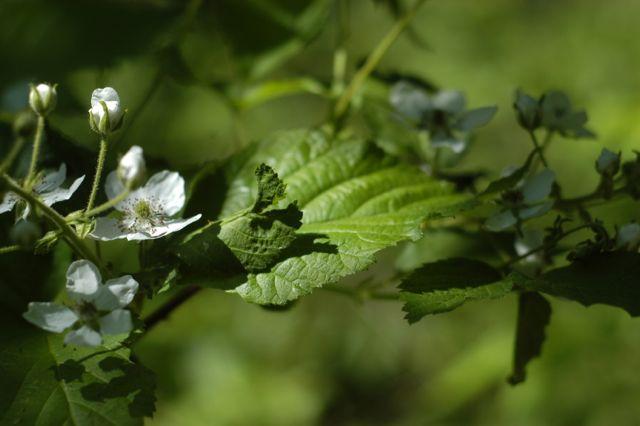 blackberry blossoms | Clean. www.lusaorganics.typepad.com