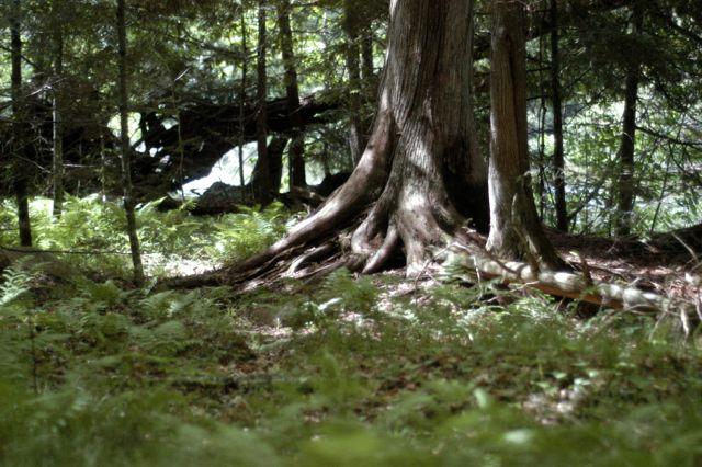 hemlock tree | Clean. www.lusaorganics.typepad.com
