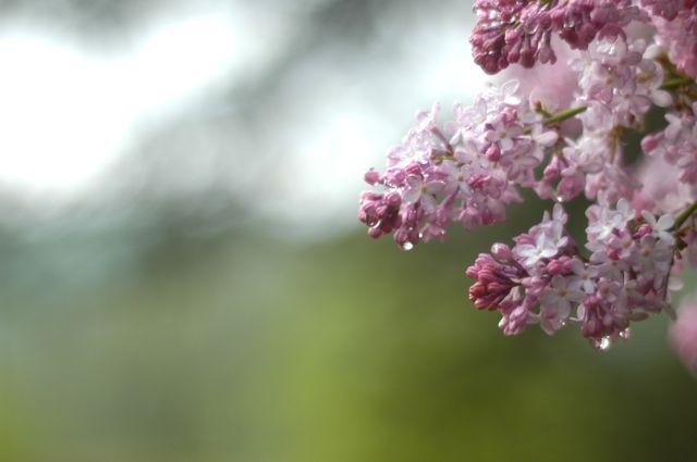 lilacs and rain