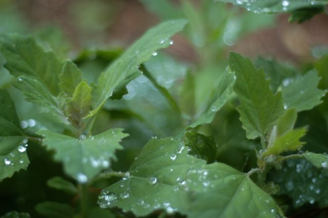Wonderfully wild lambsquarters: it's like spinach, only better. | Clean.