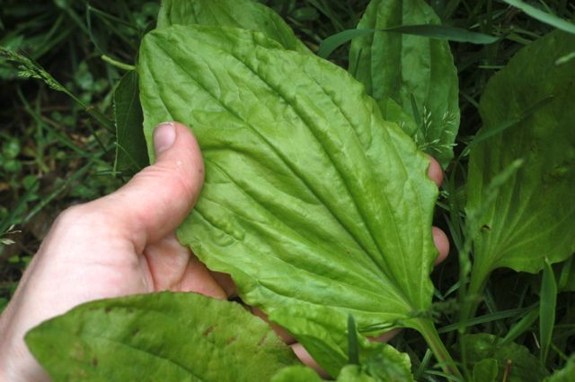 Wonderfully Wild Plantain: quick & easy homegrown medicine