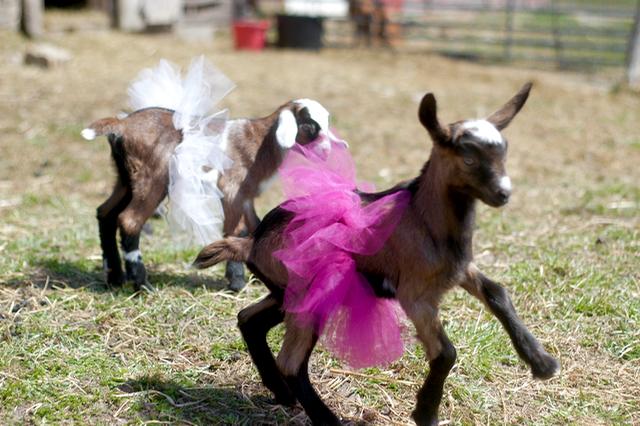 Goats in tutus. Just because. :: Rachel Wolf :: www.lusaorganics.typepad.com