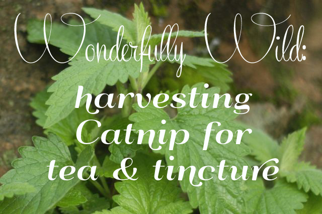 Wonderfully Wild: harvesting catnip for tea & tincture | Clean