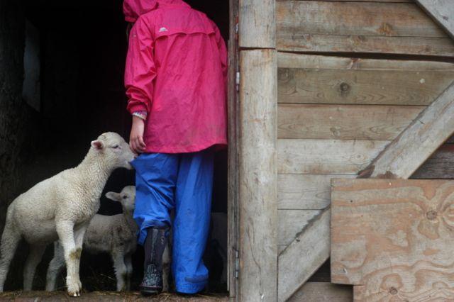 Lambs in the barn