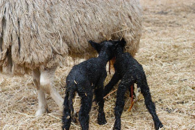 Newborn lambs