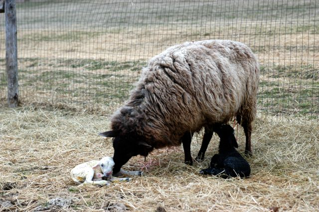 The birth of a lamb