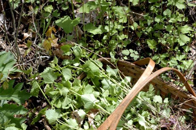 (not so wonderfully wild) Invasive Garlic Mustard : : Pesto Recipe